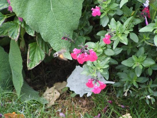 Little Honeyeater seen at Beaune, France