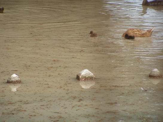 Duckies in Avignon, France