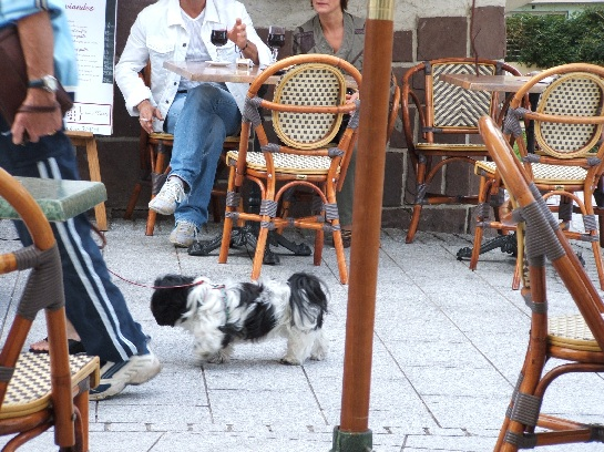 French dog in Biarritz, France