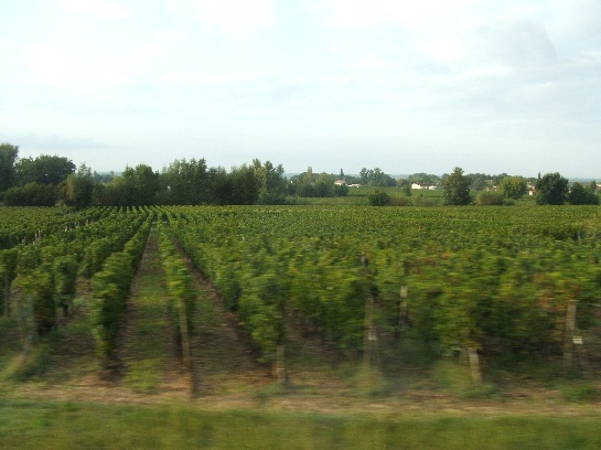 Grapevines seen while travelling north to St. Emilion, France