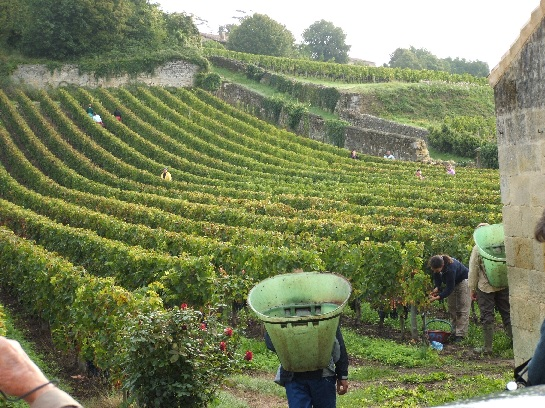 Picking the grapevines in St. Emilion, France