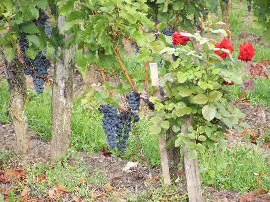 Grapevines in St. Emilion, France