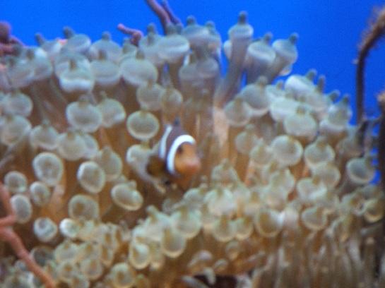Nimo in the Sentosa Island Aquarium, Sentosa Island, Singapore