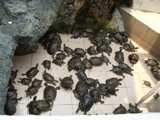 Tortoises on Kusu (Tortoise Island) Island Singapore Harbour, Singapore